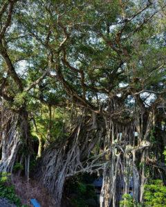 Forrest Baum Banyan Tree